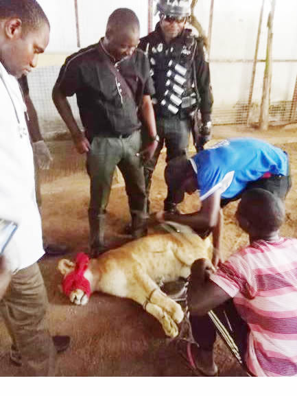 Lion Cub Found In Residential Apartment In Lagos, Tranquilized, Evacuated
